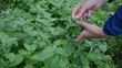 gardener girl hand pick mint herb plant leaves in rural garden