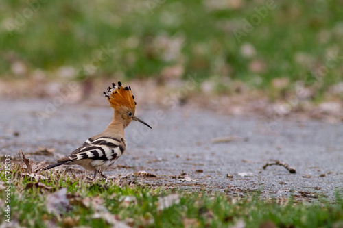 Hoopoe or upupa