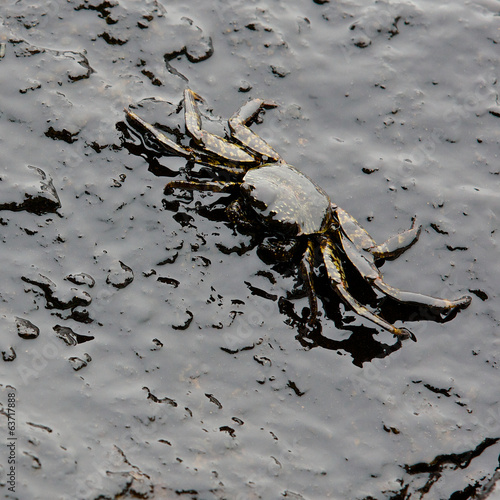 crab and crude oil spill on the stone at the beach - 63717888