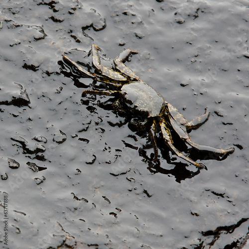 Leinwandbild Motiv crab and crude oil spill on the stone at the beach