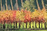 vigneto in autunno filare