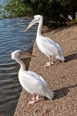 Two white pelicans in the park