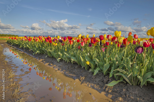 Reflection of Tulips