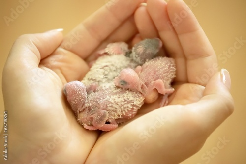 Holding Small Tender Budgerigar Babies In Hands