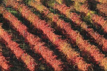 colori del vigneto in autunno