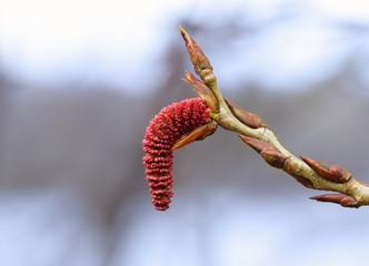 Poplar blossom