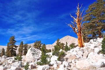 Foxtail Pines, Eastern Sierra, California