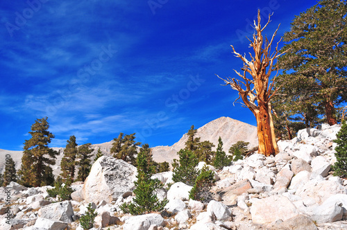 Foxtail Pines, Eastern Sierra, California