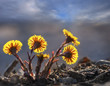 group of back lit coltsfoot