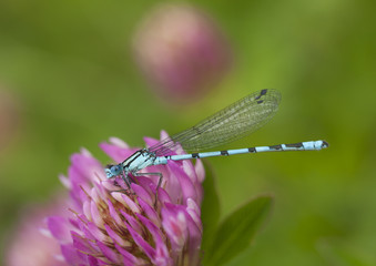Azure damselfly sitting on clover flower