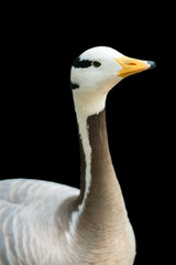 isolated bar-headed goose