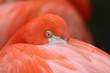 canvas print picture - Flamingo