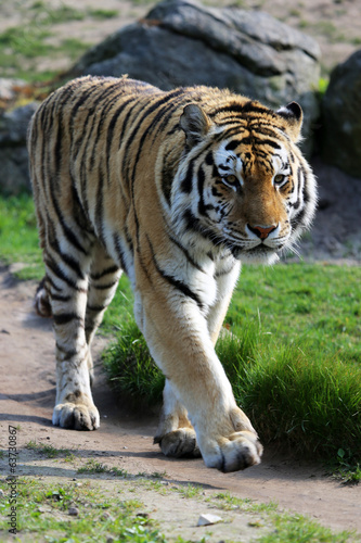 canvas print picture Sibirischer Tiger