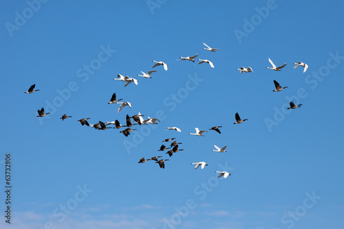 Tundra Swans and Canadian Geese
