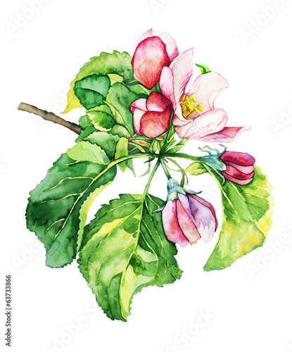 Watercolor with apple tree in blossom