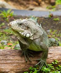 Iguane des Antilles