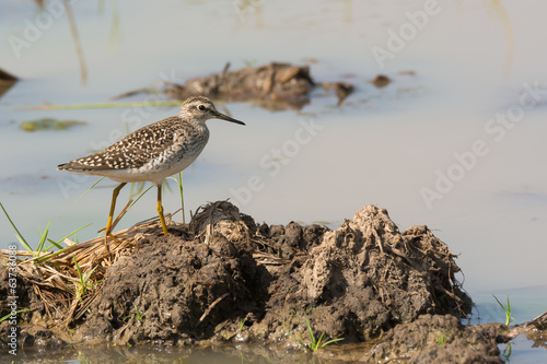 Wood Sandpiper (Tringa glareola) walking on a bank of mud