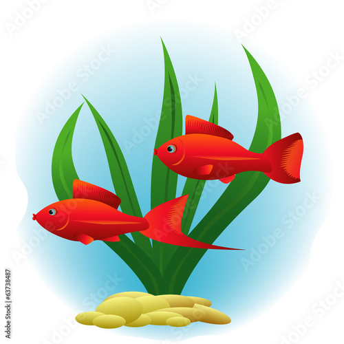 red platy- fishes