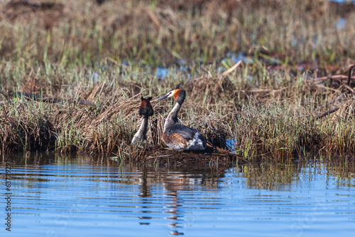Great Crested Grebe pair