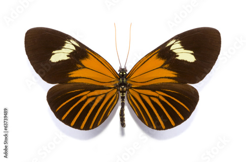 tropical batterfly collection Heliconius xanthocles melior