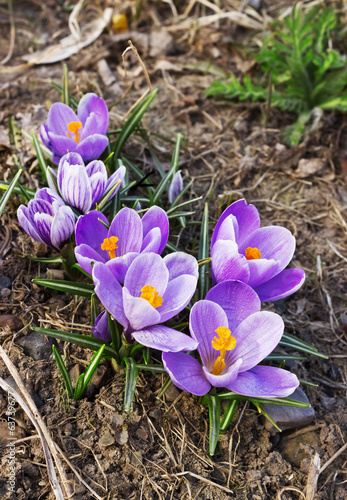 Beautiful spring crocuses bloom in April