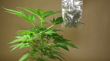 Cannabis plant and bag with dried Marijuana.