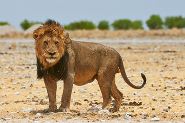 A male lion in Etosha National Park in Namibia