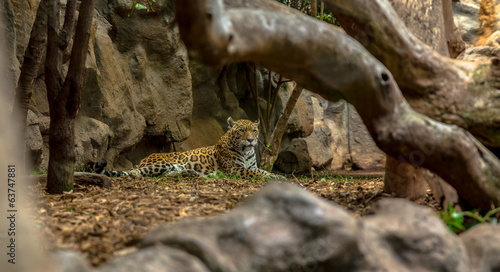 Jaguar resting in a zoo enclosure behind trees