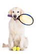 golden retriever dog ready to play tennis