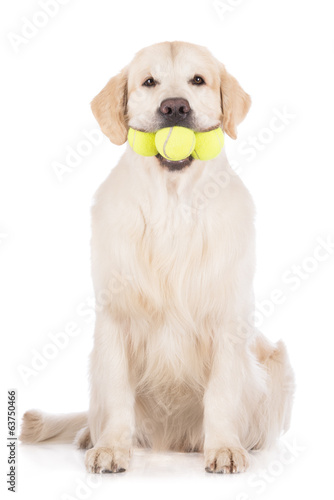 golden retriever dog holding three tennis balls