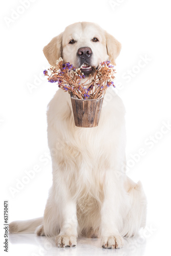 golden retriever dog holding a flower pot
