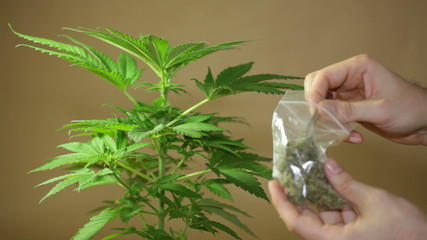 Cannabis plant and hand holding dried Marijuana buds.