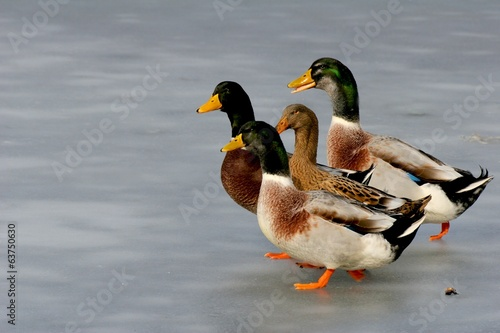 Four ducks on ice