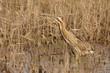 tarabuso uccello di palude ardeide