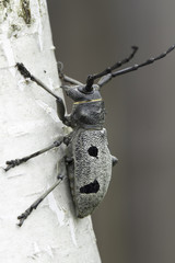 An adult of Morimus funereus, longhorn beetles