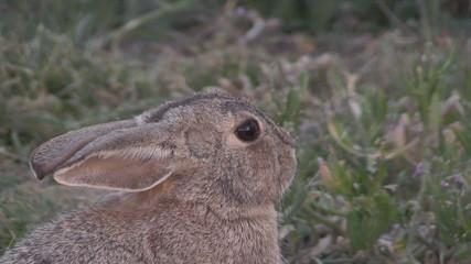 Cottontail Rabbit Face