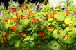 Beautiful nasturtium blossom