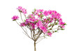 pink azalea blooming on tree isolated on white background