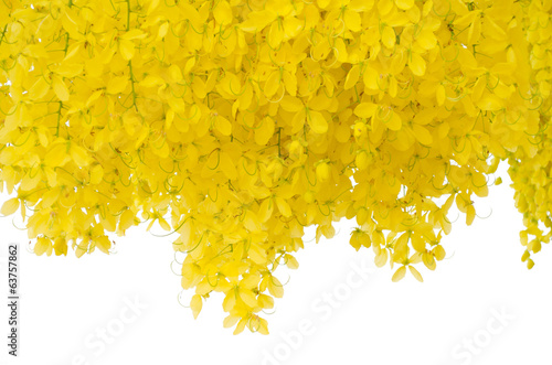 Cassia fistula flower  isolated on white background