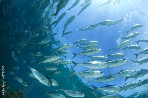 School Bigeye Trevally fish