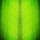Green banana leaf texture - natural background