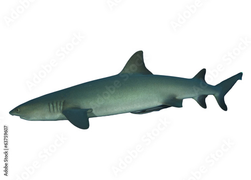 Whitetip Reef Shark isolated on white background