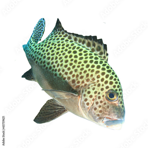 Harlequin Sweetlips fish isolated on white background