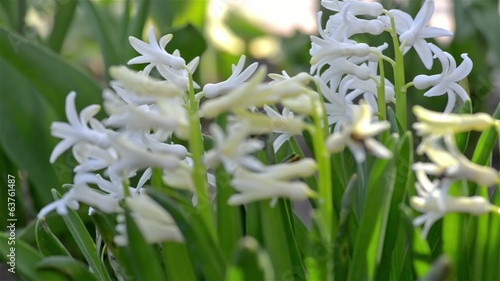 White hyacinth in a warm spring day