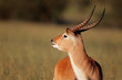 canvas print picture Red lechwe antelope