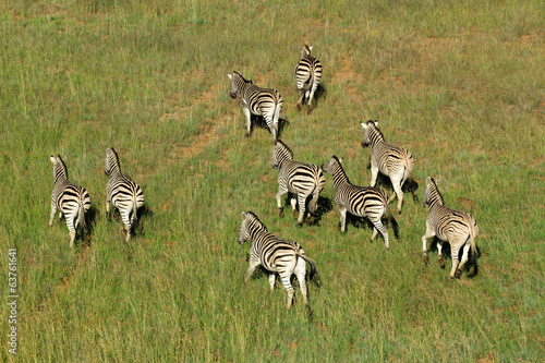 canvas print picture Aerial view of Plains Zebras in grassland