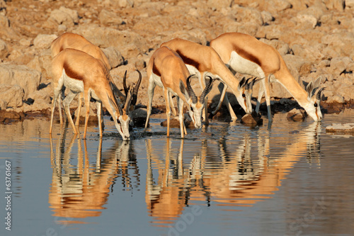 canvas print picture Springbok antelopes at waterhole, Etosha National Park