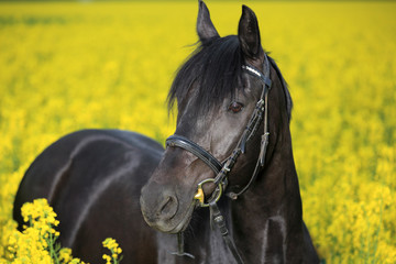 black horse in canola field