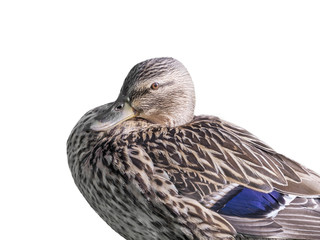 Female mallard duck - isolated