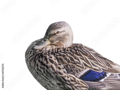 Poster Female mallard duck - isolated